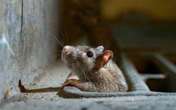 سمپاشی جهت موش